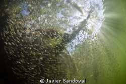 Cancun mangrove with silversides by Javier Sandoval