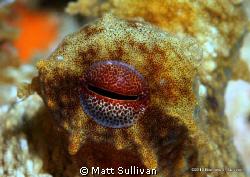Ocotpus Eye by Matt Sullivan