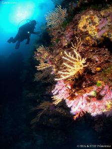 Red coral (corallium rubrum), Calanques de Cassis. by Bea & Stef Primatesta