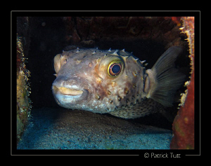 Porcupinefish in Marsa Nakari - Egypt - Canon S90 with ha... by Patrick Tutt