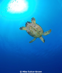 Hawksbill Turtle, Grand Cayman by Mike Sutton-Brown