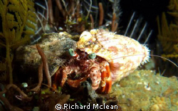 hermit crab on a night dive by Richard Mclean