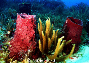 Sponges and sea wips off Boyonton Beach Florida. by Patrick Smith