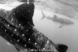 2 whale sharks by Javier Sandoval