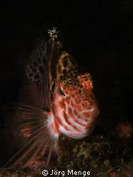 Threadfin Hawkfish by Jörg Menge