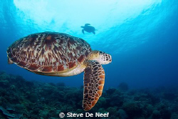 Two Green Sea Turtles swimming around at Apo Island. This... by Steve De Neef