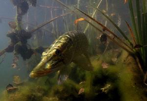 Pike by Veronika Matějková
