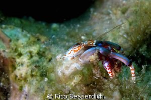 """Naked !!"" This small ( 10 mm ) hermid crab has a serious... by Rico Besserdich"