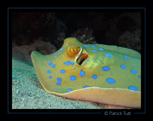 Bluespotted ribbontail ray in Marsa Shuni - Egypt - Canon... by Patrick Tutt