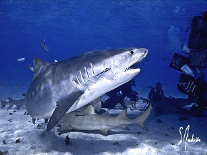 Emma demanding some respect! Tiger Beach - Bahamas by Steven Anderson