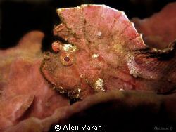 Teniaonoths triacanthus by Alex Varani