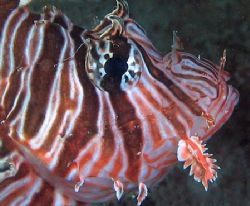 Lionfish, Ningaloo Reef by Penny Murphy