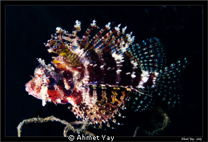 The hunry lion fish... by Ahmet Yay