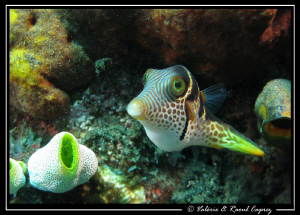 Canthigaster valentini by Raoul Caprez