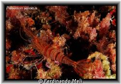 Palaemon serratus. by Ferdinando Meli
