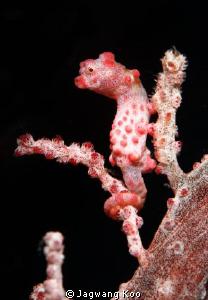 pigmy seahorse of red color by Jagwang Koo
