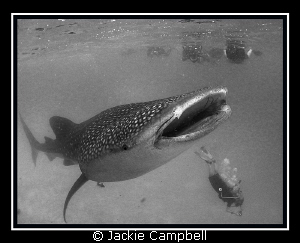 Whaleshark with an adoring fan club. Canon ixus 980, fis... by Jackie Campbell