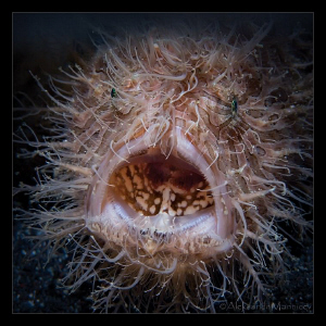 """Nightmare"" Hairy frogfish, Lembeh by Aleksandr Marinicev"