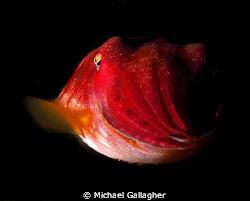 Juvenile Australian Giant Cuttlefish - Julian Rocks, Byro... by Michael Gallagher