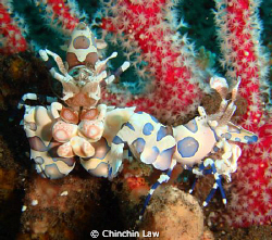 front and side view of a harlequin shrimp by Chinchin Law
