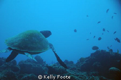 Lounging Sea turtle by Kelly Foote