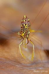 Golden Shrimp by Sangut Santoso