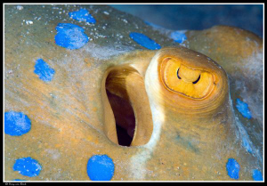Blue spotted stingray. Up close and personal... by Dray Van Beeck