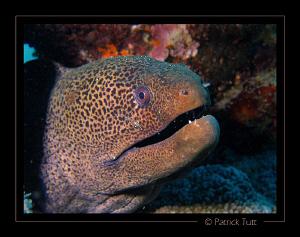 Giant moray and its small shrimp on the cheek - Marsa Shu... by Patrick Tutt