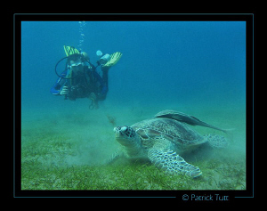 green turtle in a field of sea grass - Marsa Abu Abab - E... by Patrick Tutt