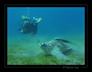 green turtle in a field of sea grass - Marsa Abu Abab - E... by Patrick Tutt