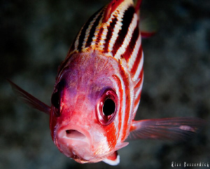 soldier-fish close-up by Rico Besserdich