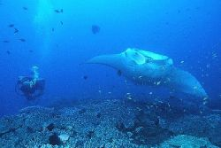 """""""Manta & Diver"""" Taken on a cleaning station at Manta Ree... by Brian Welman"""