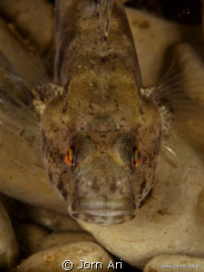 Sand Goby. Olympus E-420 With Ikelite Housing + 1 DS160 ... by Jorn Ari