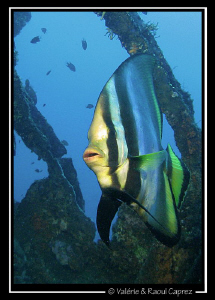 Platax pinnatus in the Liberty wreck by Raoul Caprez