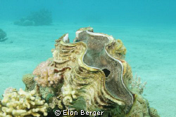 Giant clam! by Elon Berger