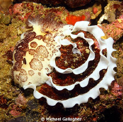 Nudibranch laying egg ribbon, Komodo, Indonesia. by Michael Gallagher