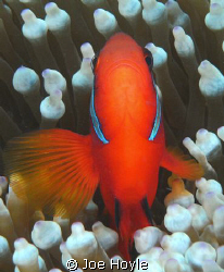 head-on saddleback clown fish.. if you look really close ... by Joe Hoyle