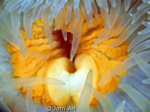 Sea Anemone 