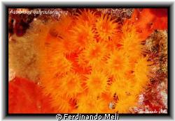 Astroides calycularis. by Ferdinando Meli
