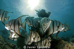 Atlantic spadefish in puerto morelos Mexico by Javier Sandoval