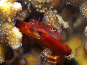 A well sheltered Coral crab by Sven Tramaux