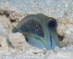 jawfish with eggs/ baby jawfish in its mouth! by Joe Hoyle