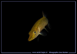 Young Pike Fish on the Hunt... Que du bonheur... :O)... by Michel Lonfat