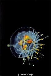 The free-swimming hydromedusae Gonionemus murbachii. Niko... by Christian Skauge
