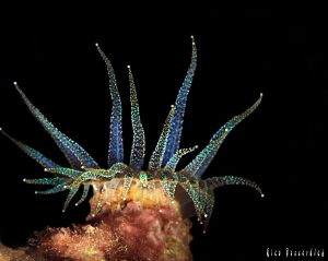 Anemone at night-dive. CANON 40D, Ike housing, IKE Ds125 ... by Rico Besserdich