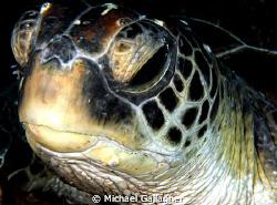 Turtlely dude!!! Green Sea Turtle portrait - Julian Rocks... by Michael Gallagher