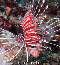 baby lionfish! by Joe Hoyle