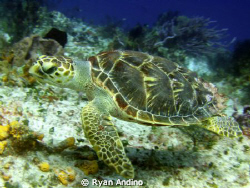 sea turtle, photo taken in cozumel mexico in about 45 ft ... by Ryan Andino