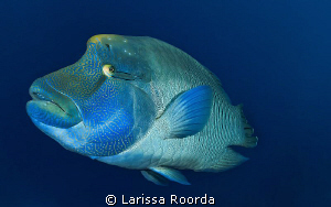 A friendly Humphead Wrasse in Palau by Larissa Roorda