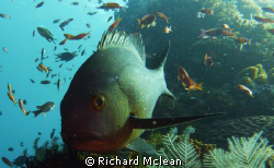 midnight snapper in for a closer look by Richard Mclean